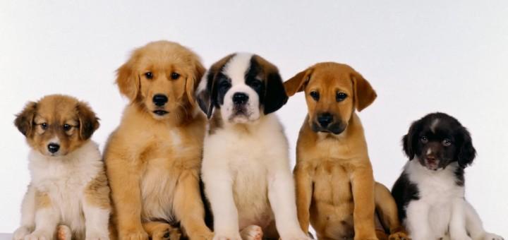 cuccioli_cani