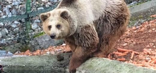 orso bruno 1