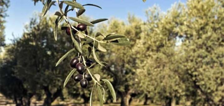 uliveti-olive-